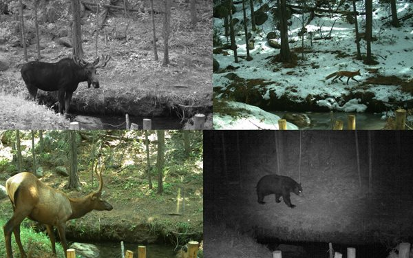 Trail camera footage shows success on the Mill Creek Habitat Improvement Project